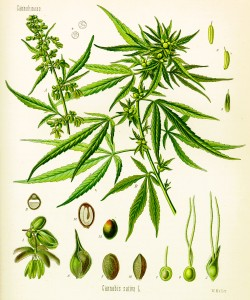 Cannabis sativa, print, 1887, Hermann Adolf Kohler.