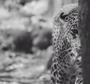 Leopard in the Eye, Vinaypyatimani.